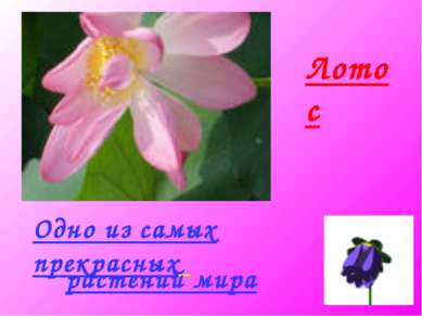 Лотос Одно из самых прекрасных растений мира