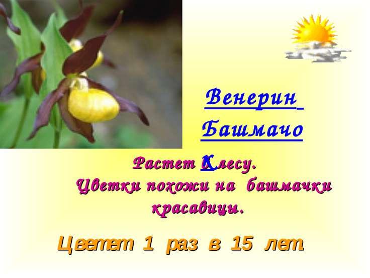 Растет в лесу. Цветки похожи на башмачки красавицы. Цветет 1 раз в 15 лет. Ве...