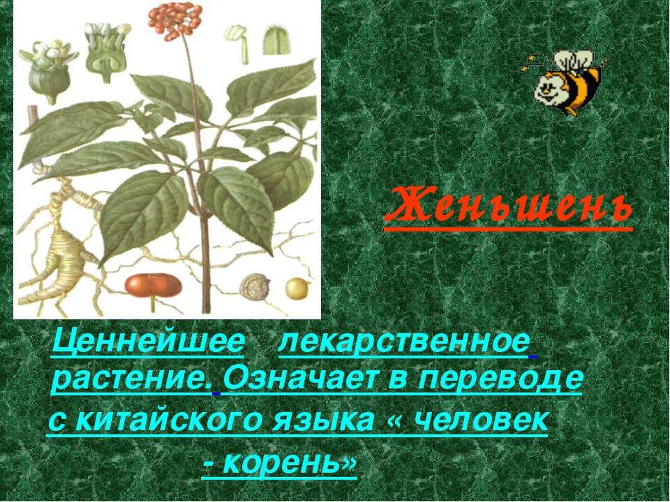 Женьшень Ценнейшее лекарственное растение. Означает в переводе с китайского я...