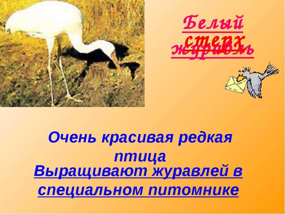 Белый журавль стерх Очень красивая редкая птица Выращивают журавлей в специал...