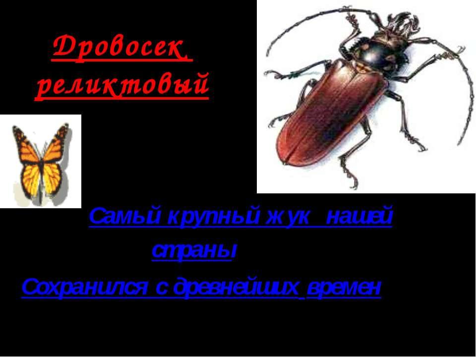 Дровосек реликтовый Самый крупный жук нашей страны Сохранился с древнейших вр...