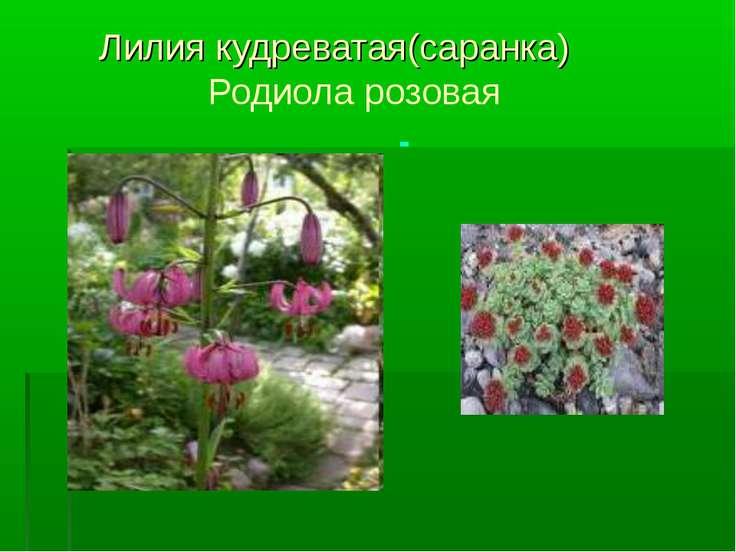 Лилия кудреватая(саранка) Родиола розовая -