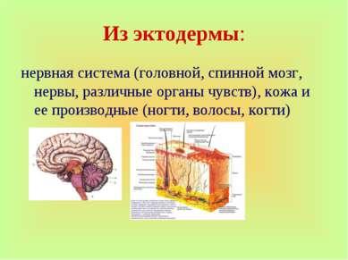 Из эктодермы: нервная система (головной, спинной мозг, нервы, различные орган...