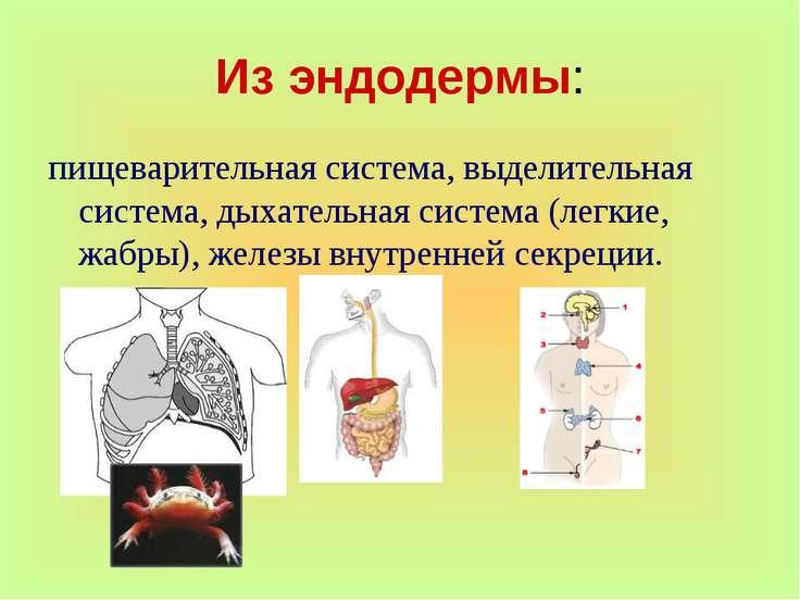 Из эндодермы: пищеварительная система, выделительная система, дыхательная сис...