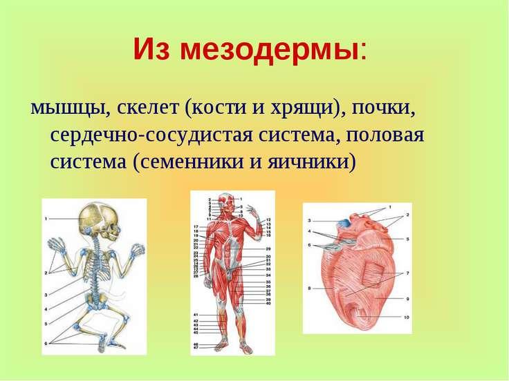 Из мезодермы: мышцы, скелет (кости и хрящи), почки, сердечно-сосудистая систе...