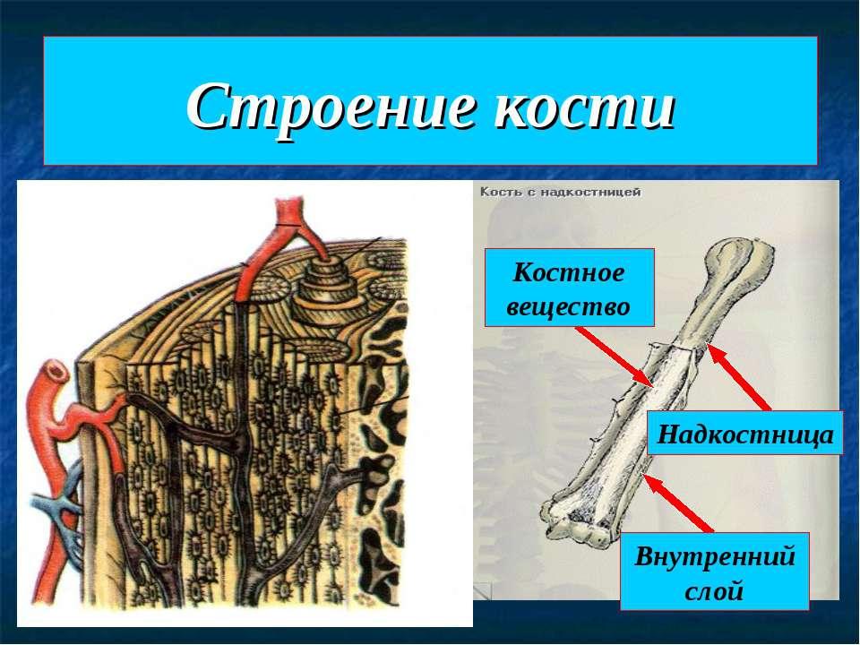 Строение кости Надкостница Костное вещество Внутренний слой