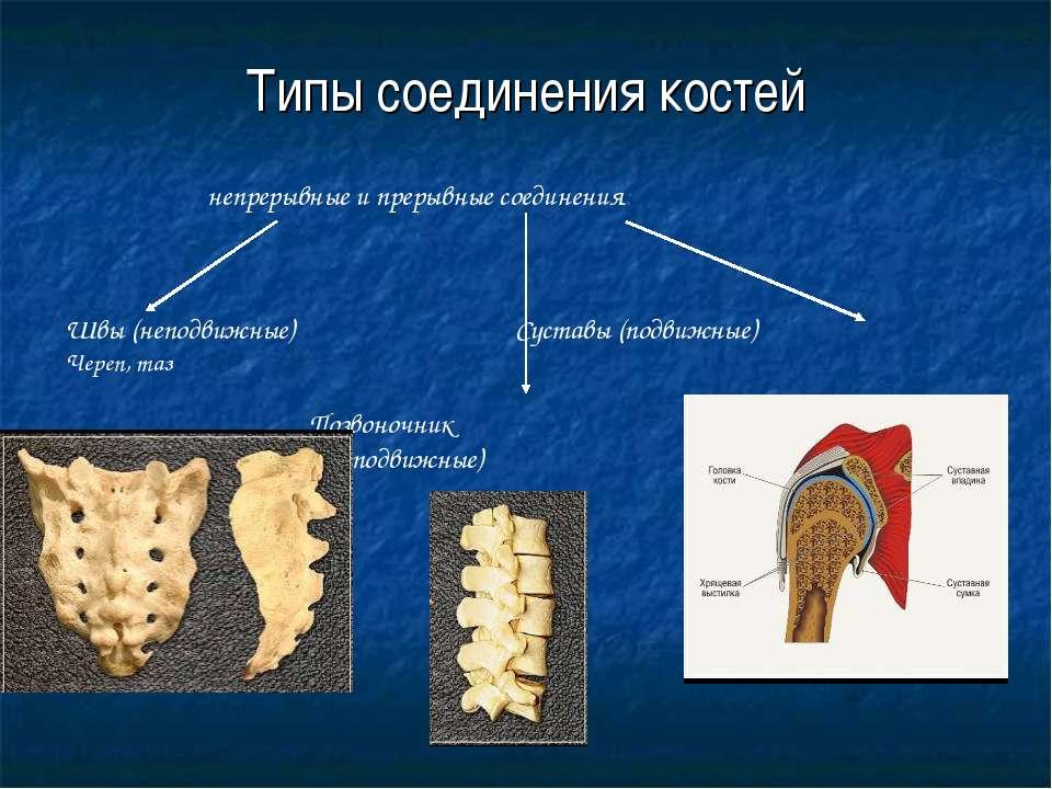 Типы соединения костей непрерывные и прерывные соединения: Швы (неподвижные) ...