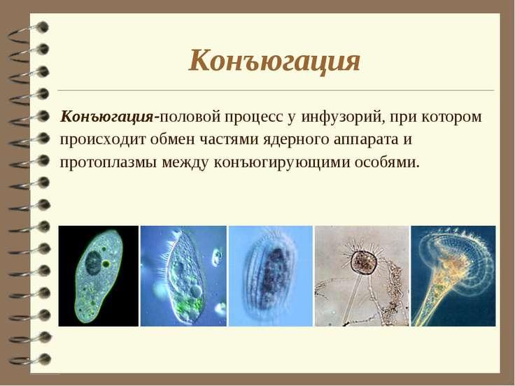 Конъюгация Конъюгация-половой процесс у инфузорий, при котором происходит обм...