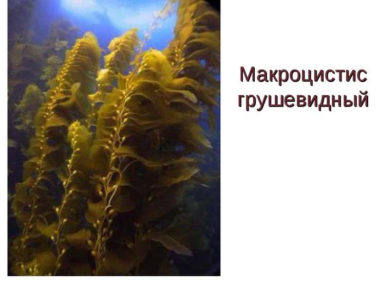 Макроцистис грушевидный