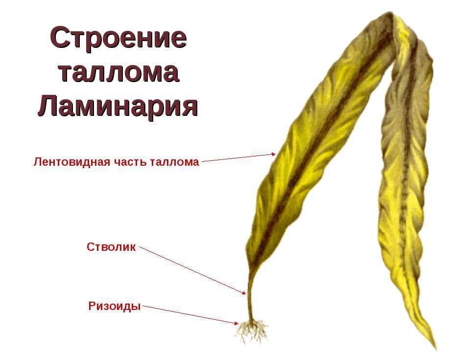 Строение таллома Ламинария Ризоиды Стволик Лентовидная часть таллома