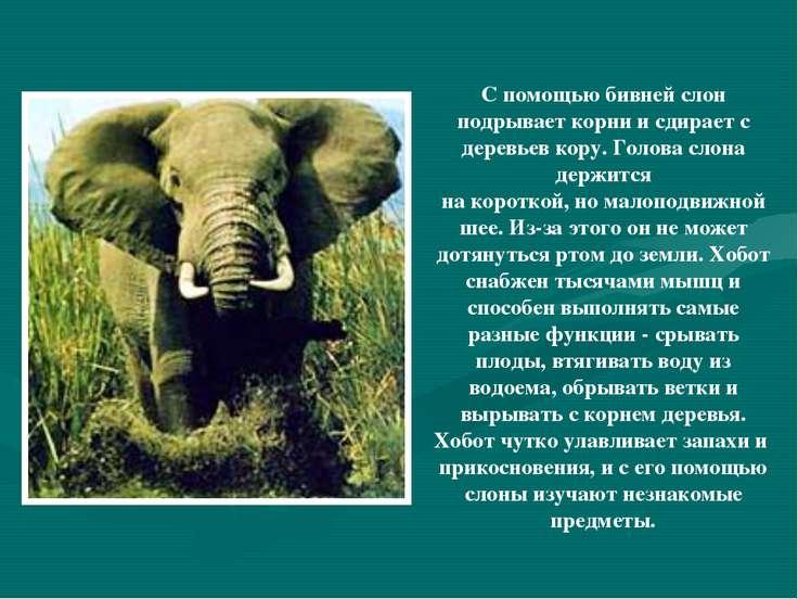 С помощью бивней слон подрывает корни и сдирает с деревьев кору. Голова слона...