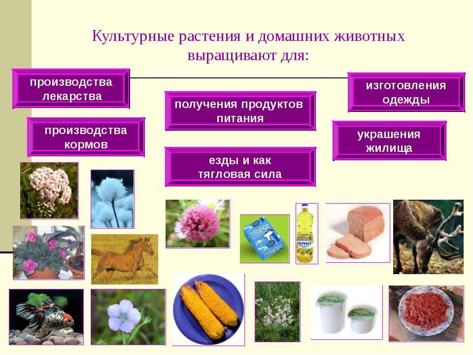 Культурные растения и домашних животных выращивают для: получения продуктов п...
