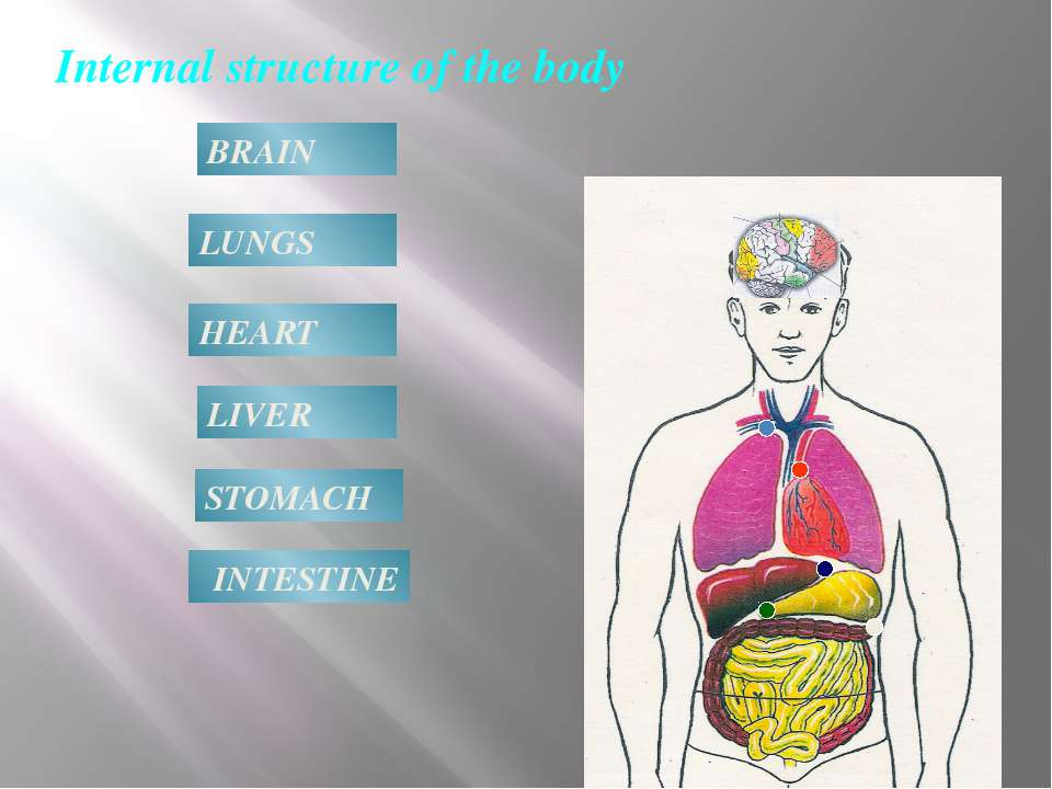 Internal structure of the body BRAIN LUNGS HEART LIVER STOMACH INTESTINE