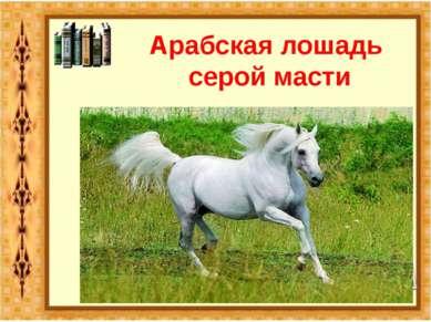 Арабская лошадь серой масти
