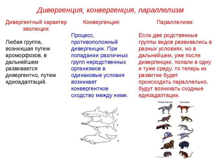 Дивергенция, конвергенция, параллелизм Дивергентный характер эволюции: Любая ...
