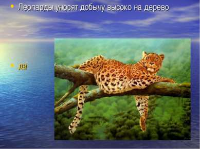 Леопарды уносят добычу высоко на дерево да