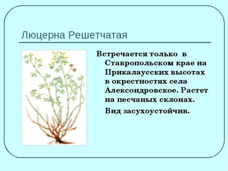 Люцерна Решетчатая Встречается только в Ставропольском крае на Прикалаусских ...