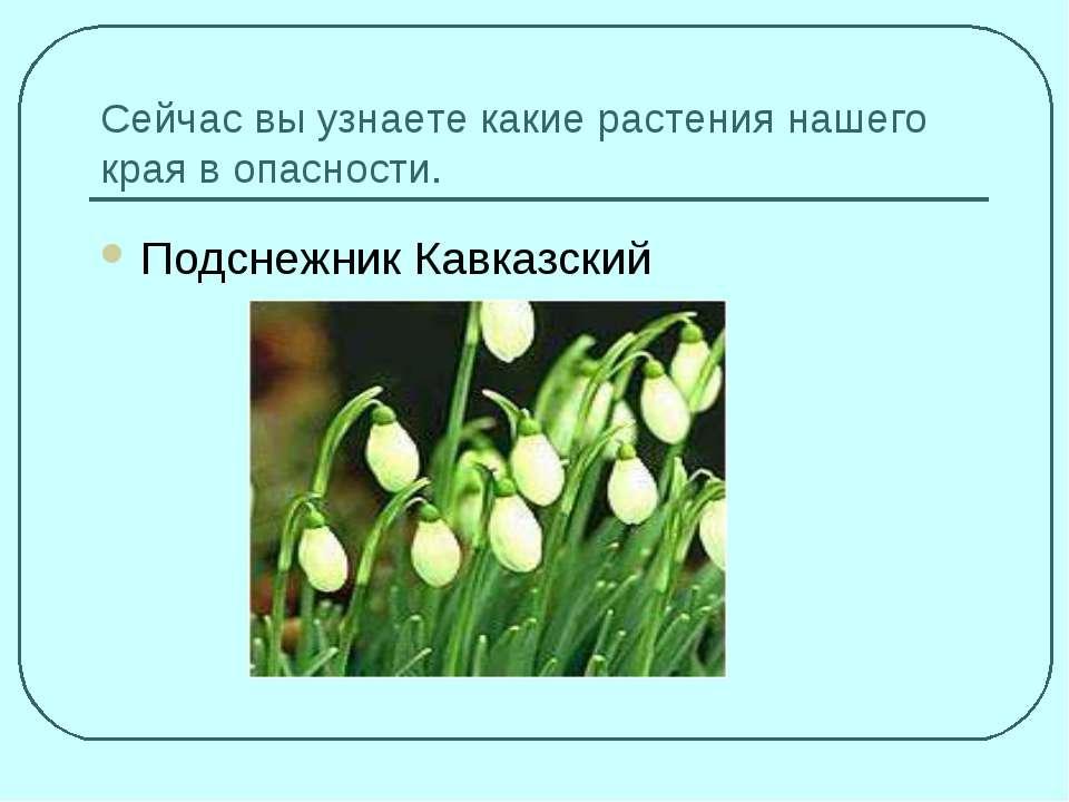 Сейчас вы узнаете какие растения нашего края в опасности. Подснежник Кавказский