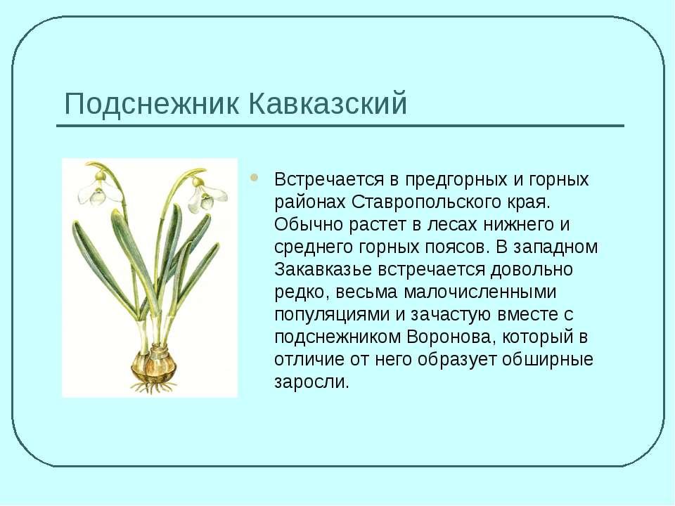 Подснежник Кавказский Встречается в предгорных и горных районах Ставропольско...