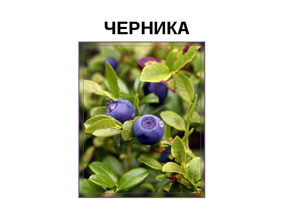 ЧЕРНИКА