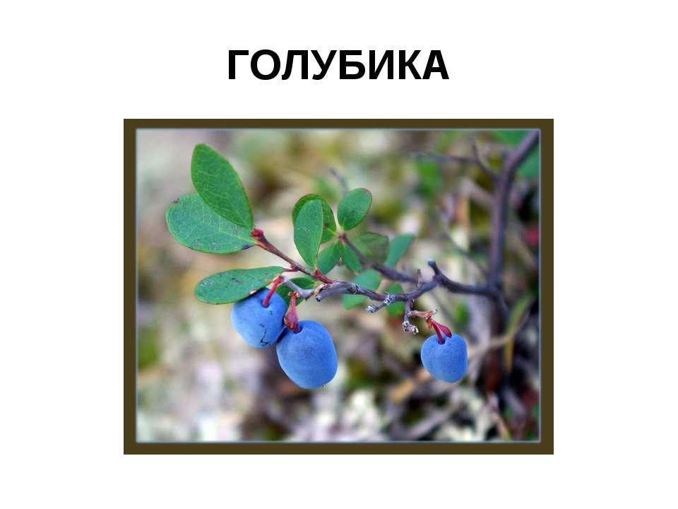 ГОЛУБИКА