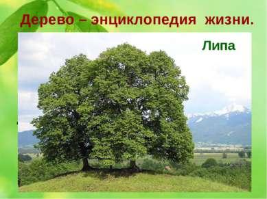 Дерево – энциклопедия жизни. 6. За нежный красивый облик это дерево древние с...