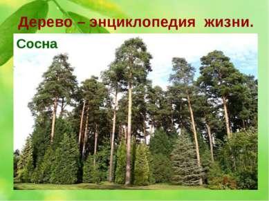 Дерево – энциклопедия жизни. 9. О каком дереве эта история. Это 300 лет назад...