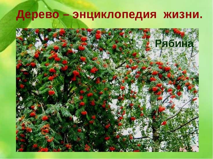 Дерево – энциклопедия жизни. 3. Ягоды этого дерева не только красивы, но и по...
