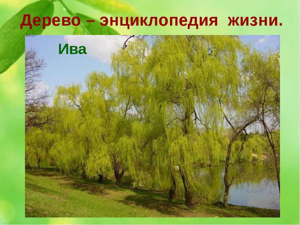 Дерево – энциклопедия жизни. 4. Это дерево у древних славян - символ семейног...