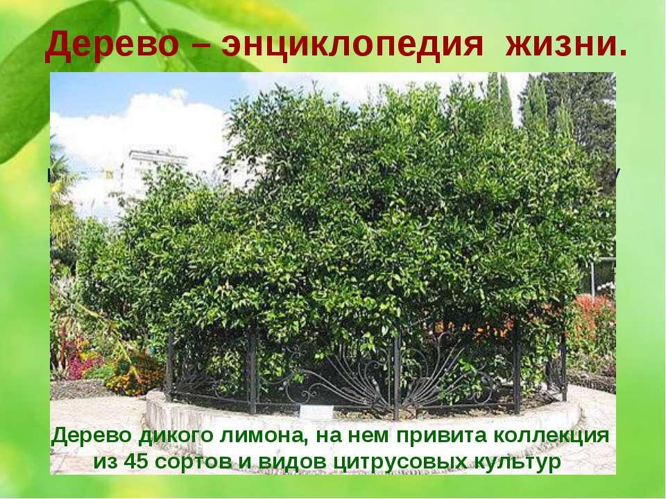 5. В Сочи есть уникальное дерево, молва о котором уже давно распространилась ...