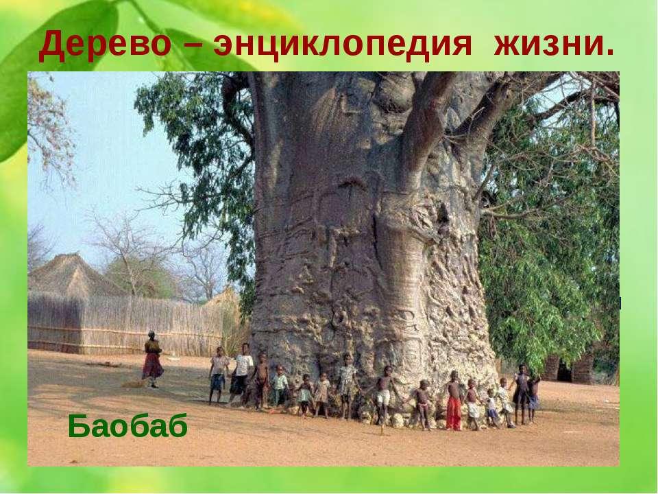 Дерево – энциклопедия жизни. 12. Hа африканском континенте это дерево в больш...