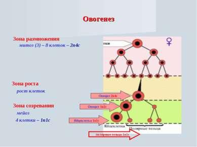 Овогенез Зона размножения митоз (3) – 8 клеток – 2n4c Зона роста рост клеток ...