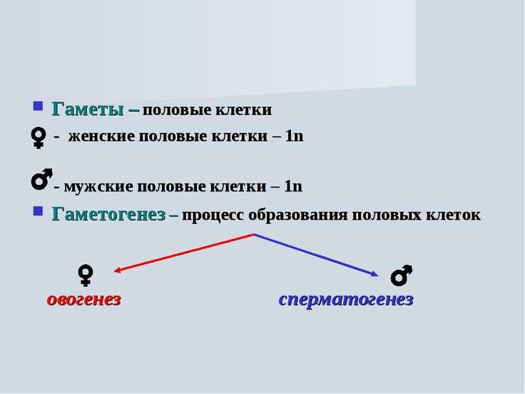 Гаметы – половые клетки - женские половые клетки – 1n - мужские половые клетк...