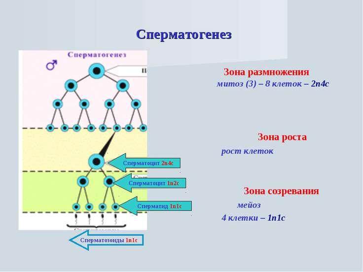 Сперматогенез Зона размножения митоз (3) – 8 клеток – 2n4c Зона роста рост кл...