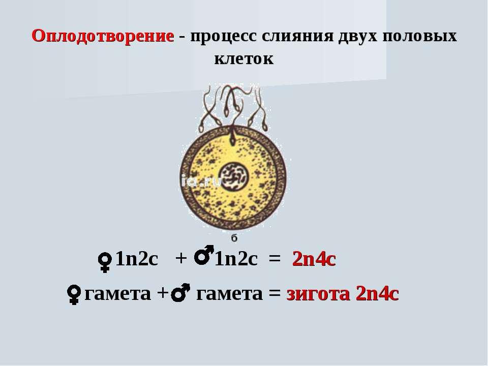 Оплодотворение - процесс слияния двух половых клеток 1n2с + 1n2с = 2n4с гамет...