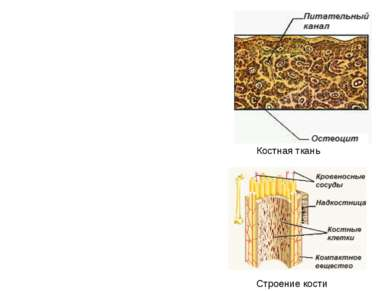 Строение кости Костная ткань
