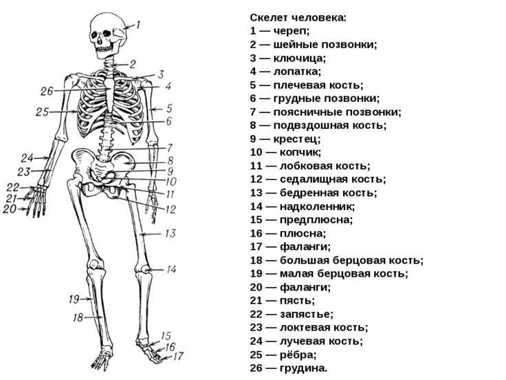 Скелет человека: 1 — череп; 2 — шейные позвонки; 3 — ключица; 4 — лопатка; 5 ...