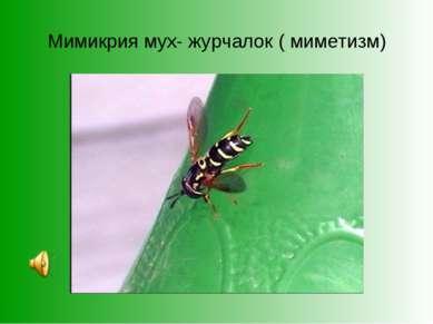 Мимикрия мух- журчалок ( миметизм)