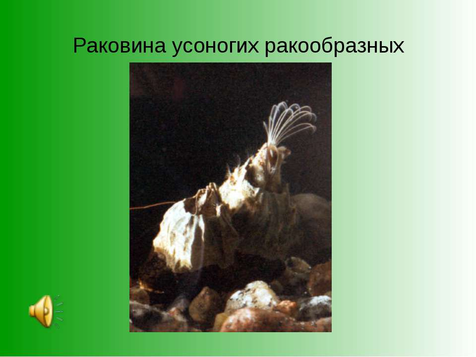 Раковина усоногих ракообразных