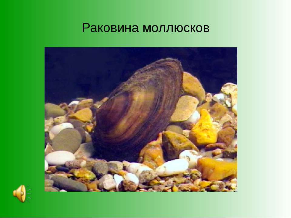 Раковина моллюсков