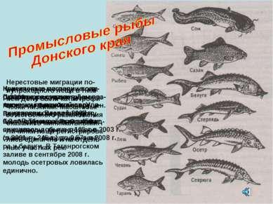 С 2000 года лов осетров в Азовском бассейне запрещен. Результаты нереста в До...