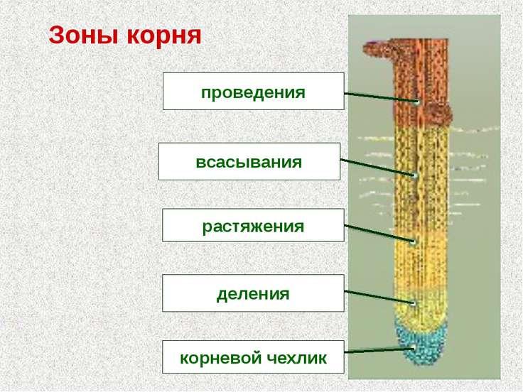 Зоны корня проведения всасывания растяжения деления корневой чехлик