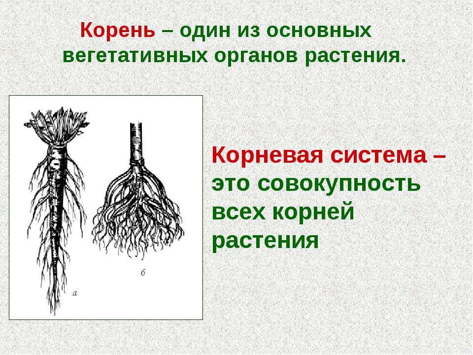 Корень – один из основных вегетативных органов растения. Корневая система – э...