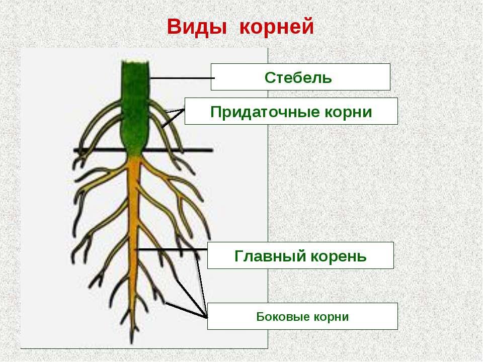 Стебель Придаточные корни Главный корень Боковые корни Виды корней