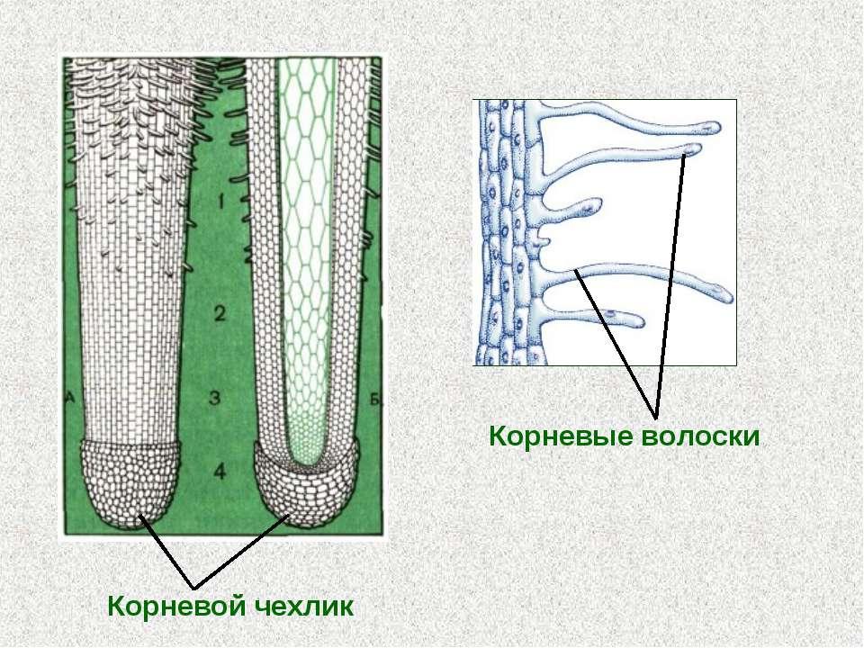 Корневой чехлик Корневые волоски