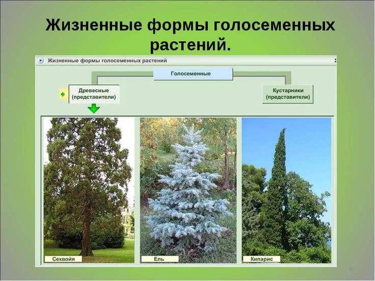 * Жизненные формы голосеменных растений. Деревья