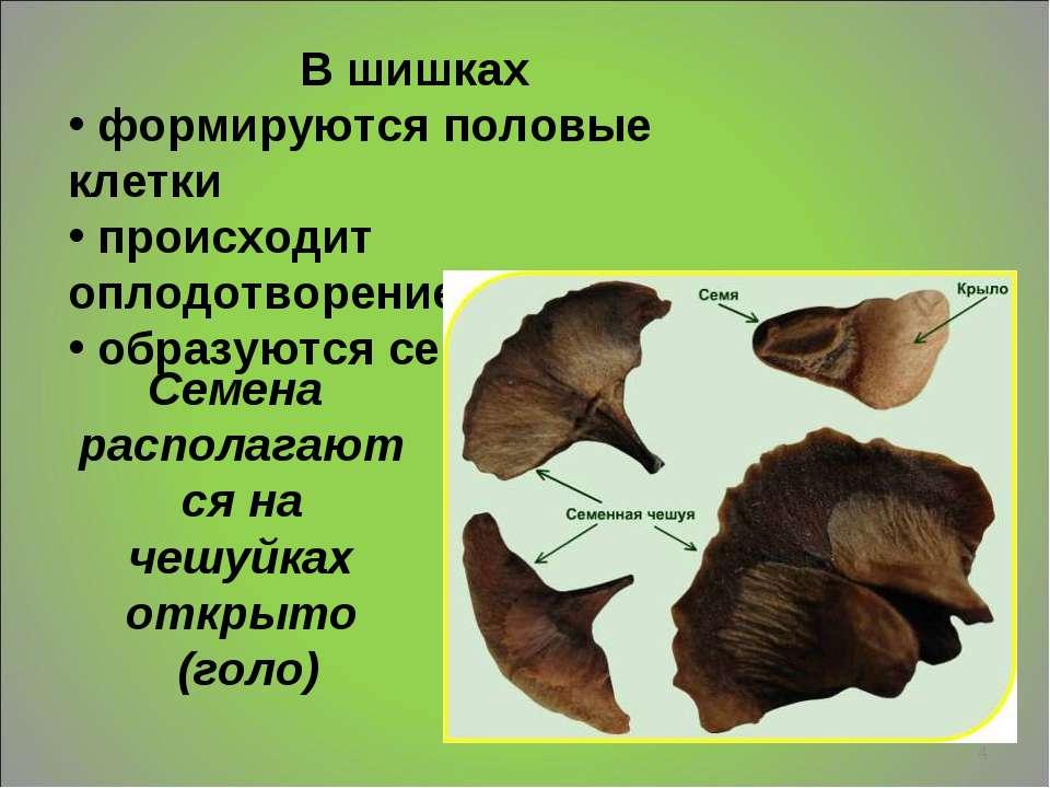 * В шишках формируются половые клетки происходит оплодотворение образуются се...