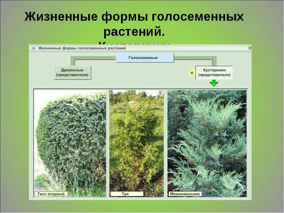 * Жизненные формы голосеменных растений. Кустарники