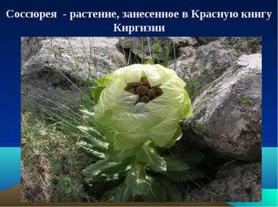 Соссюрея - растение, занесенное в Красную книгу Киргизии