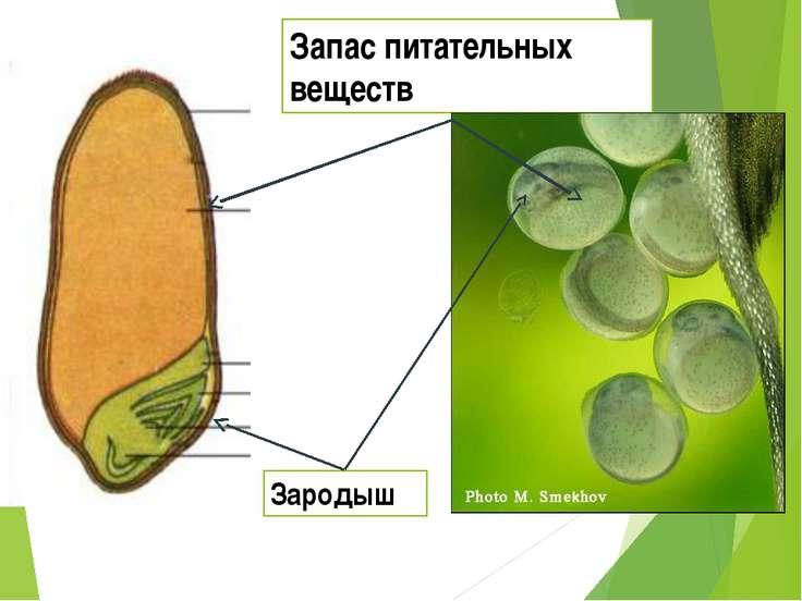 Запас питательных веществ Зародыш